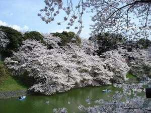 cherry-blossoms-553577_1280
